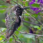 Hummingbird sticks out tongue